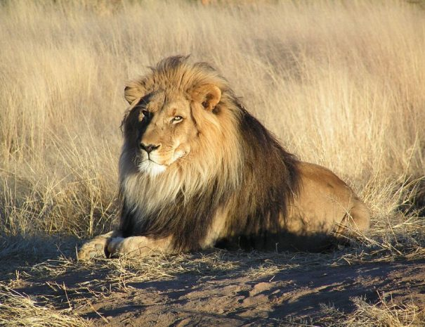 1024px-Lion_waiting_in_Namibia-min